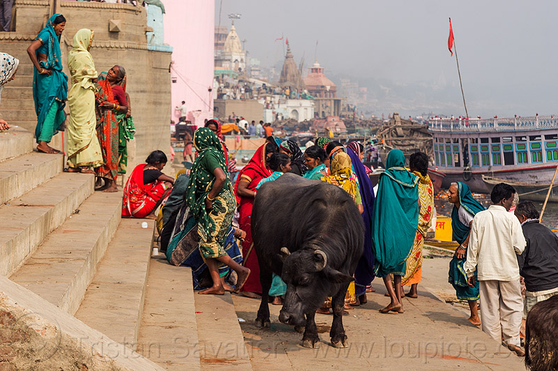 water buffalo and hindu pilgrims on a ghat - varanasi (india), ganga river, ganges river, ghats, river bank, sarees, saris, stairs, steps, street cow, varanasi, water buffalo, women