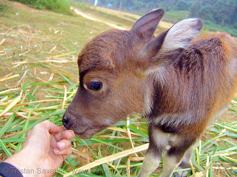 water buffalo calf - vietnam, baby cow, finger, hand, suckling
