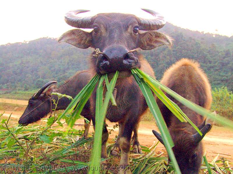 water buffalo cow eating grass, chewing, cow nose, cow snout, eating, vietnam, water buffaloes