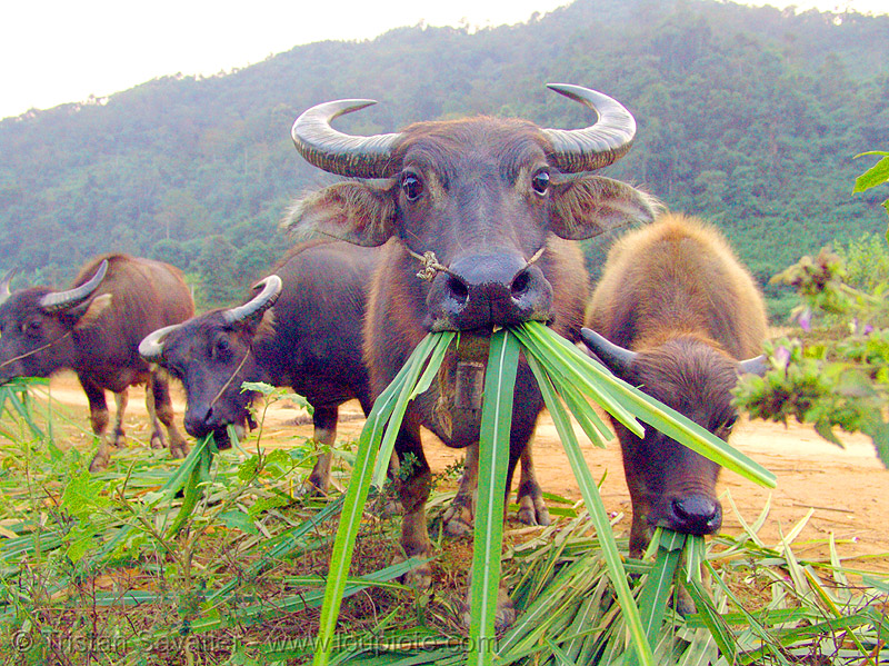 water buffaloes eating grass, chewing, cow, cow nose, cow snout