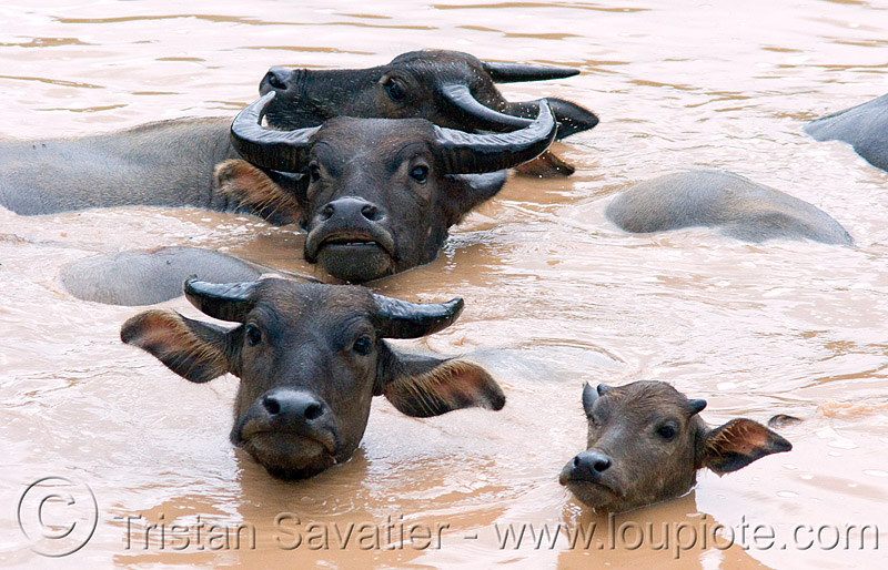 water buffaloes swimming in muddy pond, baby cow, calf, cows, laos, mud, muddy water, pond, swimming, water buffaloes