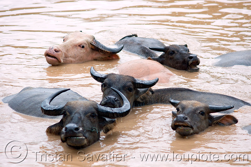 water buffalos swimming in muddy water, albino, cows, laos, mud, muddy water, pond, swimming, water buffaloes