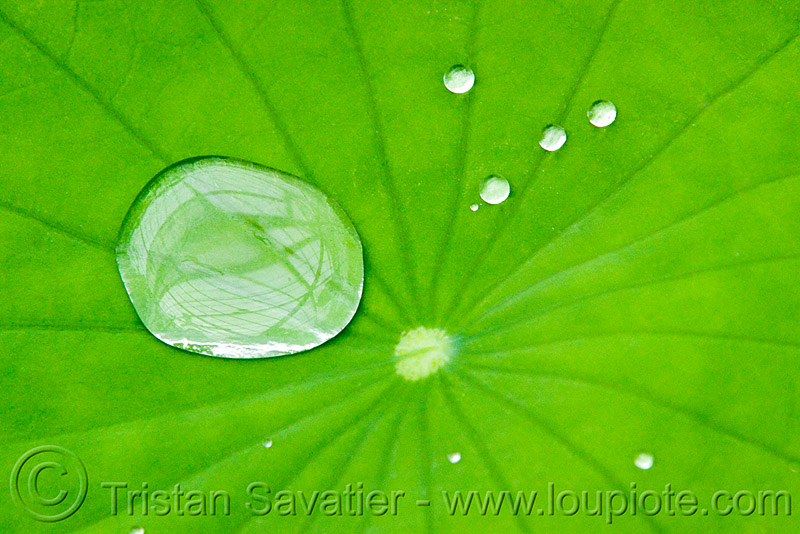 water droplets on hydrophobe lotus leaf, close-up, conservatory of flowers, dewdrops, green, hydrophobic, lotus effect, macro, nelumbo, nelumbo nucifera, plant, superhydrophobic, superhydrophobicity, tropical, water lily, water repellent