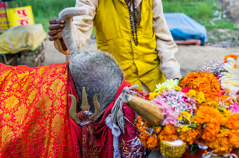 wattle on hump of holy bull, decorated, hand, hindu pilgrimage, hinduism, holy bull, holy cow, hump, india, maha kumbh mela, marigold flowers, sacred bull, sacred cow, trident, wattle