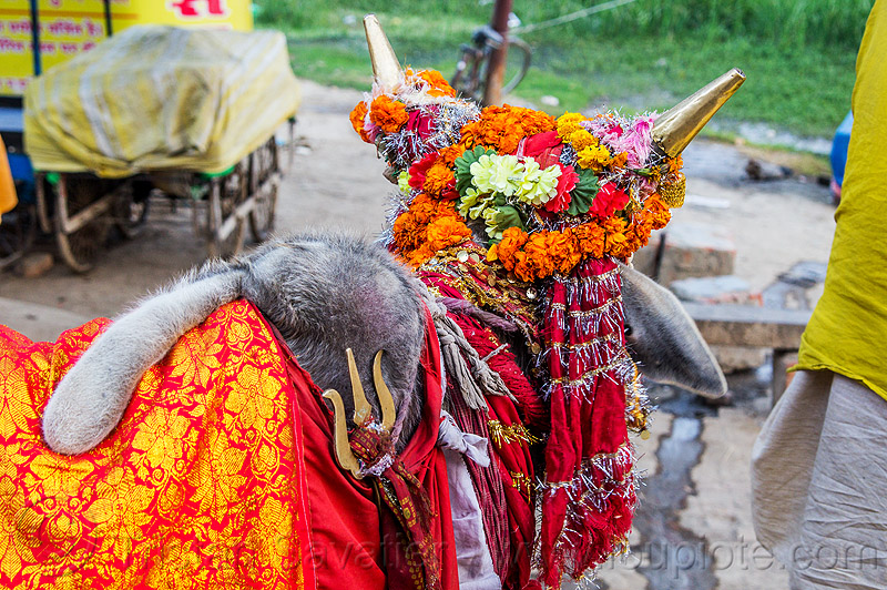 wattle on hump of holy bull, decorated, hindu, hinduism, holy bull, holy cow, hump, kumbha mela, maha kumbh mela, marigold flowers, orange flowers, sacred bull, sacred cow, trident, wattle