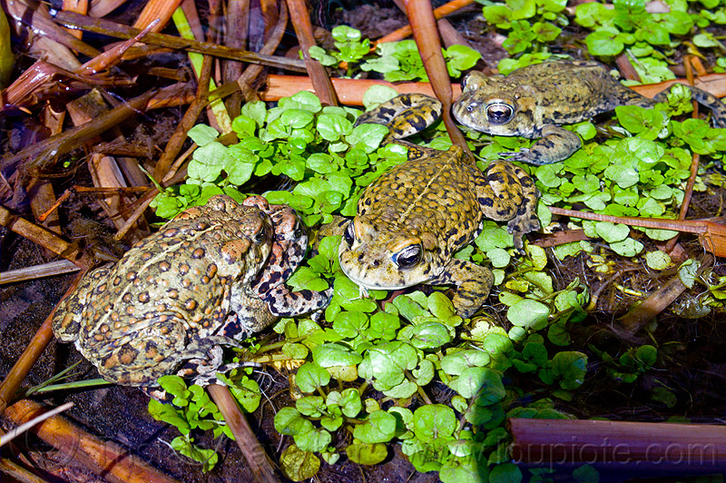 western toads, amphibian, water, wildlife