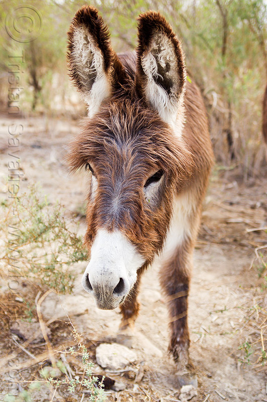wild burro - donkey, asinus, equus, feral, fur, furry, hairy, head, wildlife