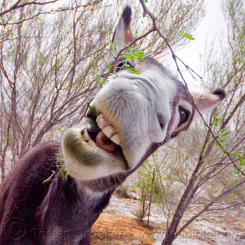 wild burro eating bush, asinus, bushes, donkey, equus, feral, head, snout, teeth, trees, wildlife