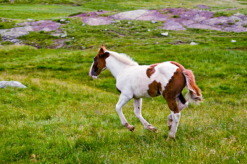 wild foal running, baby horse, feral, feral horse, field, grassland, pinto, pinto coat, pinto horse, turf, white and brown coat, wild horse