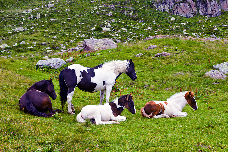 wild horses - foals, baby horse, feral horses, field, foals, grassland, lying down, pinto coat, pinto horse, resting, turf, white and black coat, white and brown coat, wild horses