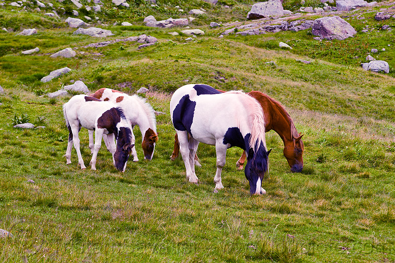 horses grazing, baby horse, feral, feral horses, field, foals, grassland, pinto, pinto coat, pinto horse, turf, white and black coat, white and brown coat, wild horses