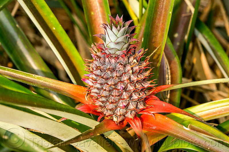 wild pineaple (india), ananas comosus, bromeliaceae, east khasi hills, fruit, india, mawlynnong, meghalaya, pineapple, plant, wild pineaple