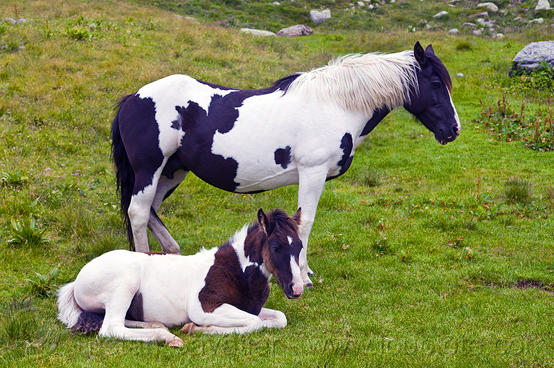 wild pinto horses (italy), baby horse, feral horses, foal, grass field, grassland, lying down, pinto coat, pinto horse, white and black coat, wild horses