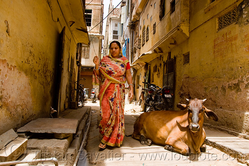 woman and cow - jaipur (india), people, saree, sari, street, street cow