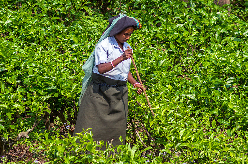 woman picking tea leaves in tea plantation (india), agriculture, farming, harvesting, people, tea harvesting, tea plucking, west bengal, women, working