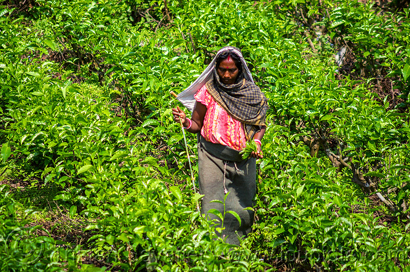 woman picking tea leaves - tea plantation - harvesting (india), agriculture, farming, tea harvesting, tea plucking, west bengal, working