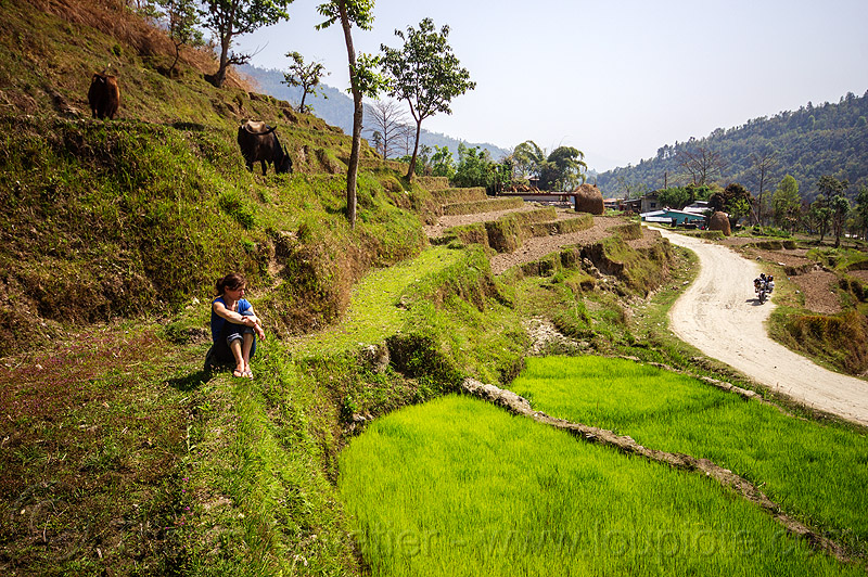 woman sitting in paddy fields - road (nepal), agriculture, anne-laure, cows, motorbike, motorcycle, paddy fields, rice fields, road, terrace farming, terrace fields, woman