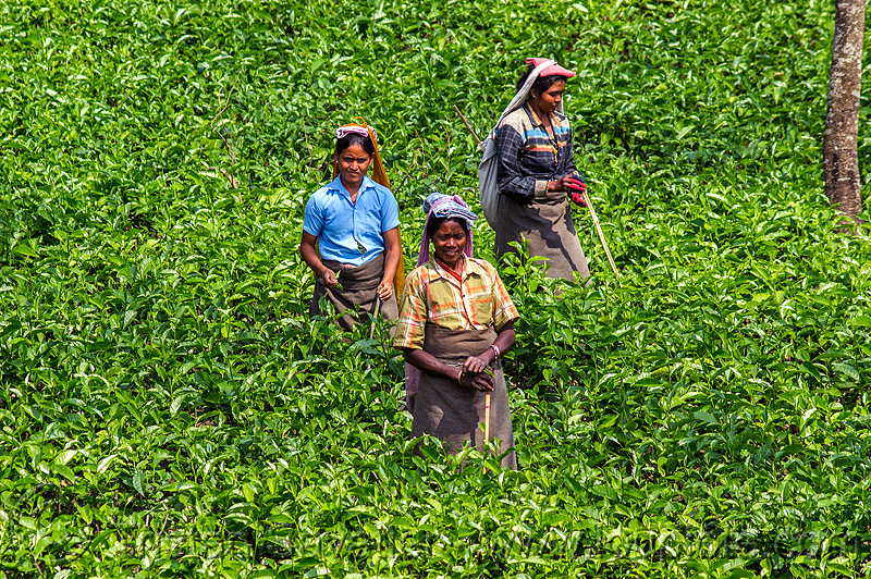 women harvesting tea leaves (india), agriculture, farming, people, plantation, tea harvesting, tea plantation, tea plucking, west bengal, working