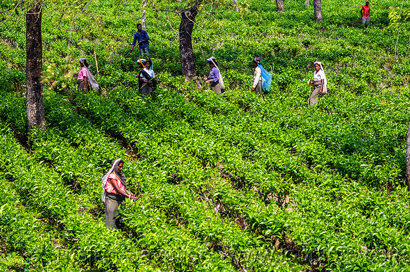 women harvesting tea leaves - tea plantation (india), agriculture, farming, people, tea harvesting, tea plucking, west bengal, working