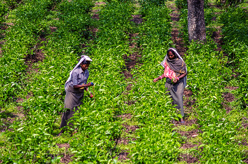 women plucking tea leaves in tea plantation (india), agriculture, farming, india, tea harvesting, tea leaves, tea plantation, tea plucking, west bengal, women, working