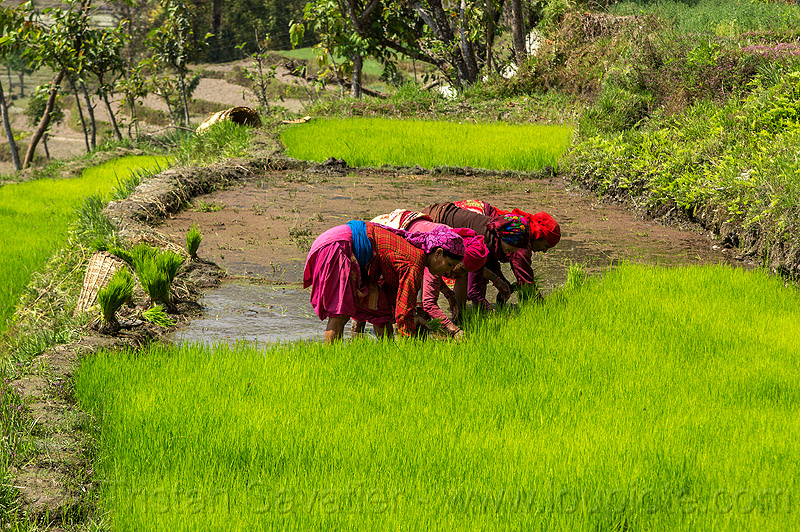 women transplanting rice in paddy field (nepal), agriculture, rice paddies, rice paddy fields, terrace farming, terraced fields, transplanting, women