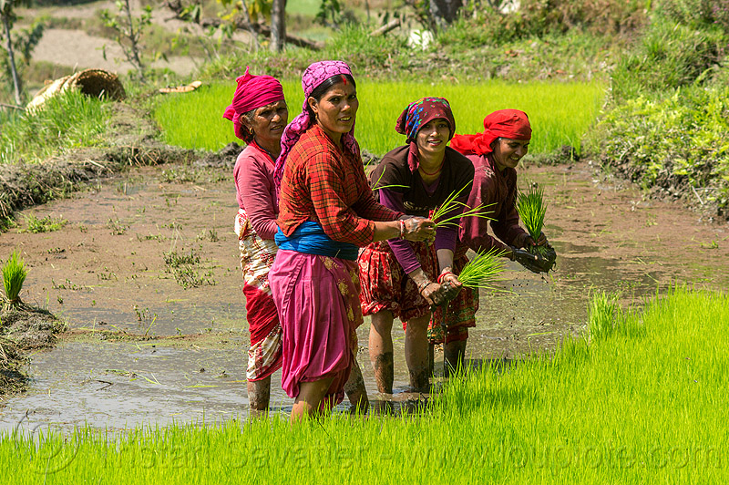 women transplanting rice - paddy field (nepal), agriculture, rice paddies, rice paddy fields, terrace farming, terraced fields, transplanting, women