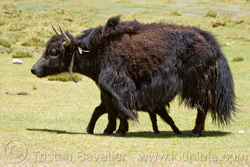 yak cow and calf, baby cow, baby yak, calf, india, ladakh, mother, nursing, suckling
