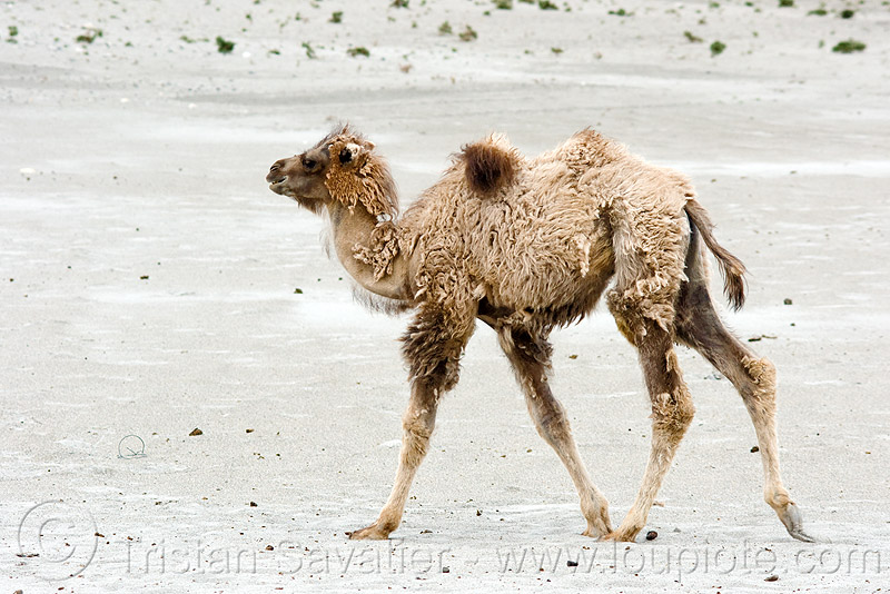 young camel - nubra valley - ladakh (india), camel herd, desert, double hump camel, hundar, ladakh, nubra valley, sand