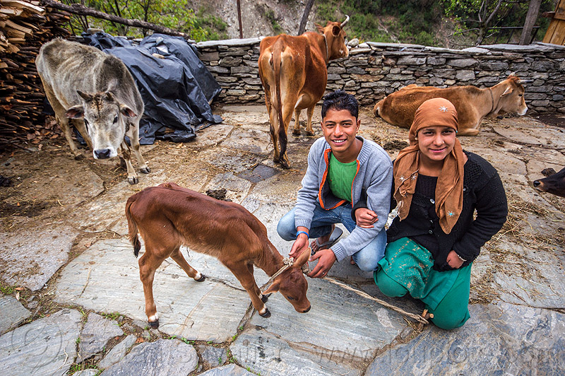 young couple with calf (india), baby cow, calf, cows, janki chatti, rope