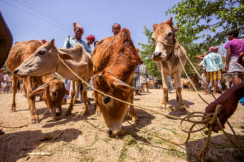 young cows on leash at cattle market (india), eating, farmer, hand, hay, holding, people, ropes, west bengal