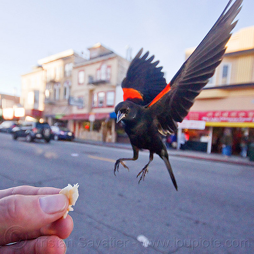 agelaius phoeniceus gubernator - flying bird eating in my hand, agelaius phoeniceus gubernator, bicolored blackbird, black bird, bread crumb, eating, feeding, flying, hand, red-winged blackbird, street, urban wildlife, wild bird, wings