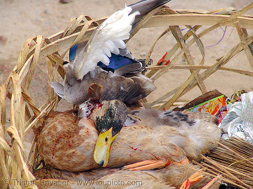 (almost) dead duck, animal rights, bird, bled, blood, bloody, dead, duck, dying, fresh, market, poultry, red