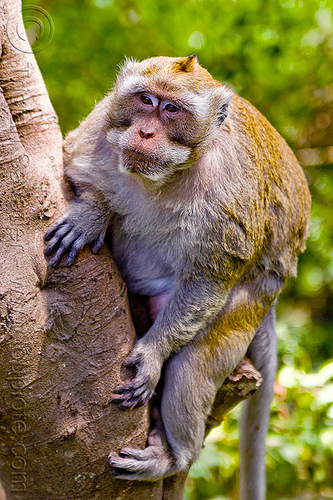 alpha male macaque monkey, alpha male, crab-eating macaque, dominant male, indonesia, macaca fascicularis, macaque monkey, wild, wildlife