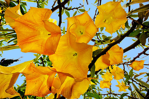 angel's trumpet flowers, angel's trumpet, brugmansia, indonesia, plant, tree, trumpet flowers, yellow