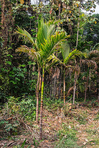 areca palm tree - betel tree (india), areca tree, east khasi hills, india, mawlynnong, meghalaya, palm tree, trees