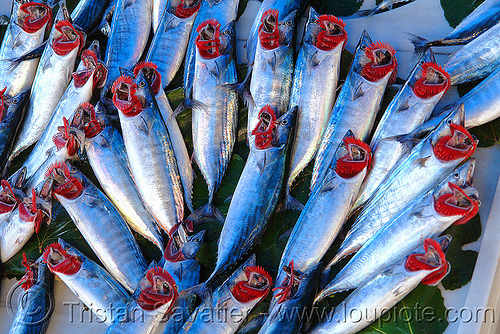 atlantic bonito - fish market, atlantic bonito, branchial arches, fish market, fishes, gills, istanbul, sarda sarda