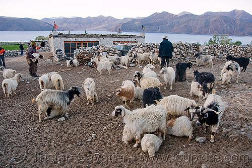 baby goats suckling - pangong lake - ladakh (india), baby goats, changthangi, herd, ladakh, pashmina, spangmik, suckling