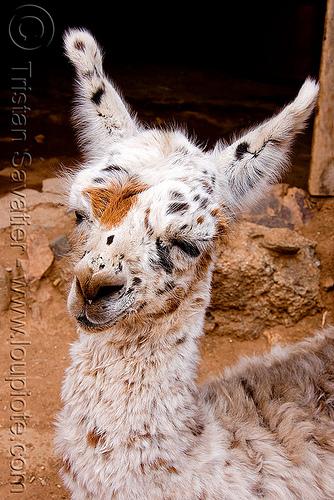 baby llama - cria, abra el acay, acay pass, baby llama, cria, lama glama, noroeste argentino, offspring