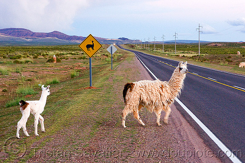 cria - baby llama and mom crossing road, altiplano, fluffy, fuzzy, llama crossing, llama sign, llama xing, lumara, lumará, mother, noroeste argentino, offspring, pampa, perspective, quebrada de humahuaca, road sign, straight road, traffic sign, vanishing point