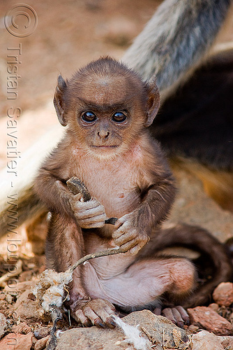 baby monkey - langur black-faced monkey (india), baby monkey, black-faced monkeys, gray langur, semnopithecus entellus, wildlife