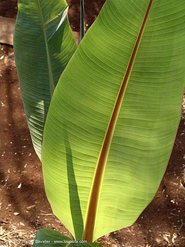 banana tree leaves, banana tree, green, leaves, plant, ประเทศไทย