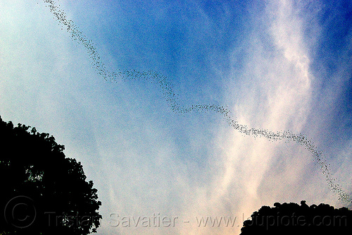 bat colony flying out of deer cave, bat colony, caving, chaerephon plicata, clouds, deer cave, flock, flying, gunung mulu national park, natural cave, spelunking, swarm behavior, trees, wildlife, wrinkle lipped bats
