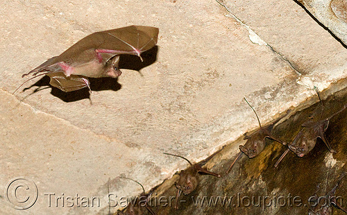 bat flying, bats, flying, gwalior, wildlife