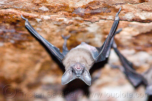 bat hanging from ceiling, bats, cave, ceiling, closeup, ears, hanging, head, india, mandav, mandu, sleeping, up-side-down, wildlife