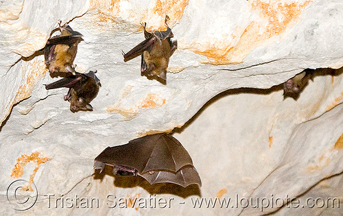 bats in cave, bats, caving, flying, hanging, laos, natural cave, spelunking, wildlife