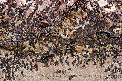 bats in cave - flying and hanging, bat colony, bats, crowd, flying, hanging, lohani cave, mandav, mandu, many, sleeping, wildlife