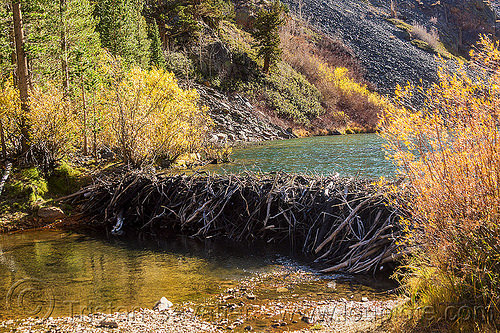 beaver dam, california, eastern sierra, lake, lundy, lundy canyon, river, tree branches, tree limbs, valley, water
