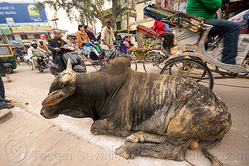 big bull oblivious to street traffic (india), bicycles, bikes, bull, cycle rickshaws, india, lying down, motorcycles, moving, resting, street cow, traffic, varanasi