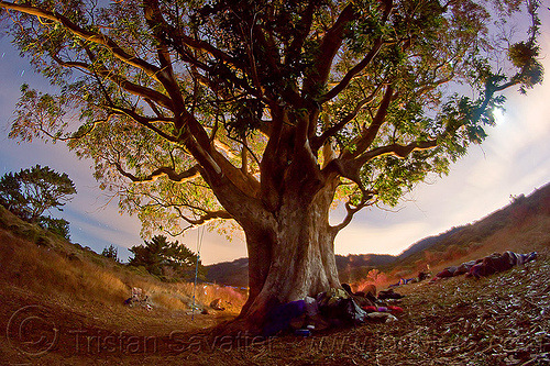 big old eucalyptus tree - mount tamalpais state park, backlight, camping, dipsea trail, eucalyptus, fisheye, glowing, long exposure, mount tamalpais state park, mt tamalpais state park, night, shadow, steep ravine, swing, tree