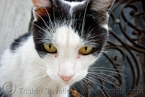 black and white cat, argentina, buenos aires, cemetery, graveyard, head, recoleta, stray cat, whiskers
